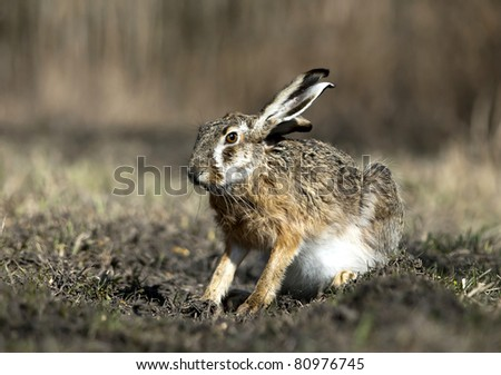 wild rabbit - stock photo