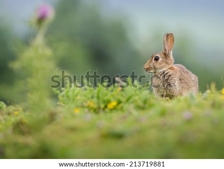 Wild rabbit in the Yorkshire Dales, England - stock photo