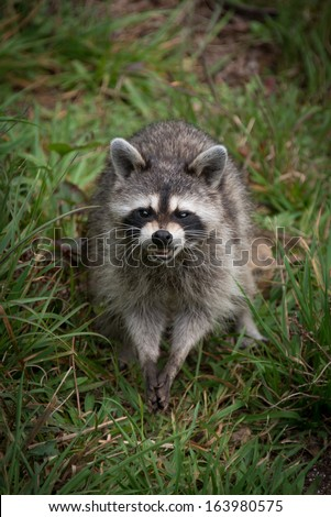 Wild Raccoon rubbing it's paws together while snarling showing his teeth. - stock photo