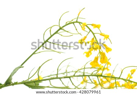 wild radish flower on a white background