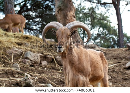 Wild Ram with big horns - stock photo
