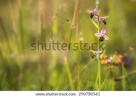 wild rare Bee Orchid Ophrys Apifera, shot wildlife in Upper Franconia Bavaria - stock photo