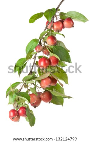 Wild red apples on a branch. Isolated on a white. - stock photo