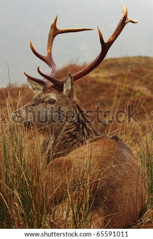 Wild Red Deer Stag at rest in the rain in the Scottish Highlands. - stock photo