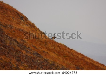 Wild Red Deer Stag on the hill during rutting season in Autumn. - stock photo