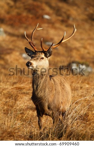 Wild Red deer stag perfectly camouflaged against the dead grass on the hill in the Scottish Highlands. - stock photo