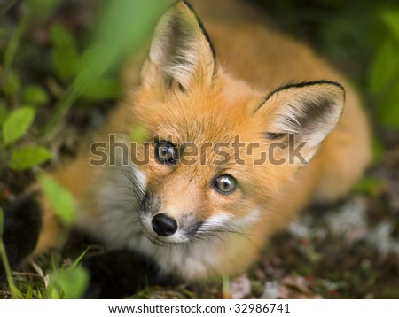 wild red fox from national park Jacques Cartier Quebec Canada - stock photo