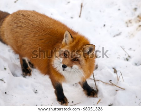 Wild red fox in snow looking a side - stock photo