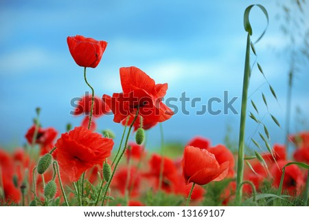 Wild red poppies against a blue sky