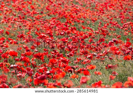 wild red poppy flower field