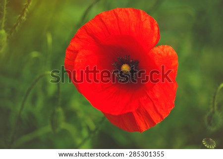 Wild Red Poppy Flower in the Field, Selective Focus Cross Processed Image - stock photo