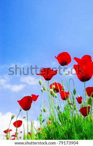 wild red poppy flowers in green grass