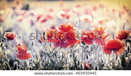 Wild red poppy flowers in meadow - beautiful spring - stock photo