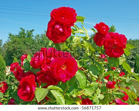 Wild red rose bush with lot of flowers - stock photo