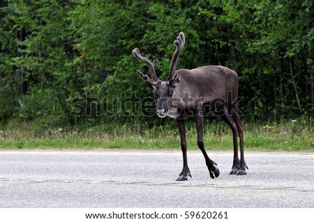 Wild reindeer crossing a road in Lapland, Scandinavia