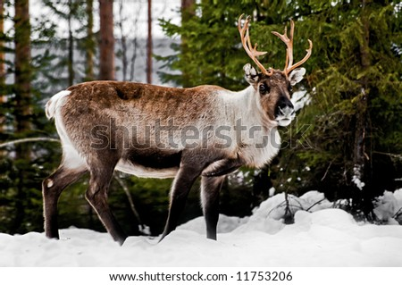 wild reindeer in its natural habitat in the north of Sweden - stock photo