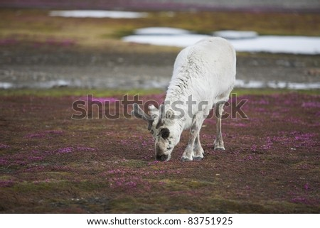 Wild reindeer on the Arctic tundra - Spitsbergen, Svalbard - stock photo
