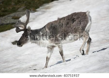Wild reindeer on the snow - Arctic, Svalbard - stock photo