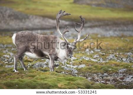 Wild reindeer on tundra - stock photo
