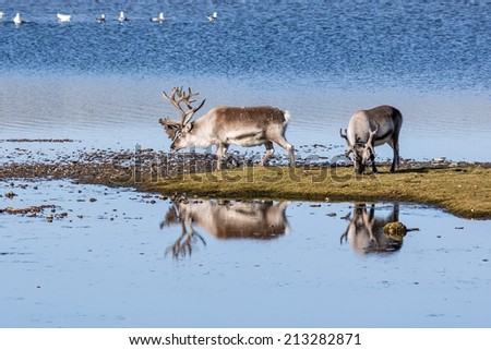 Wild reindeers by the lake - Arctic, Spitsbergen, Svalbard - stock photo