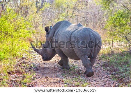 Wild rhino  and African landscape in national Kruger Park in UAR - stock photo