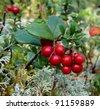 Wild ripe fruit cowberry (Vaccinum vitis idaea) - stock photo