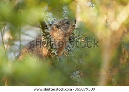 Wild Rock Hyrax Procavia capensis in its natural environment feeding on leaves.Close up photo, among blurred leaves. Nice colorful light. Drakensberg, South Africa. - stock photo