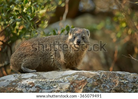 Wild Rock Hyrax Procavia capensis in its natural environment on rock staring directly at camera.Close up photo, rocks in background. Nice colorful light. Drakensberg, South Africa. - stock photo