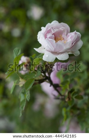 Wild rose bud with drops after rain. Vertical. - stock photo