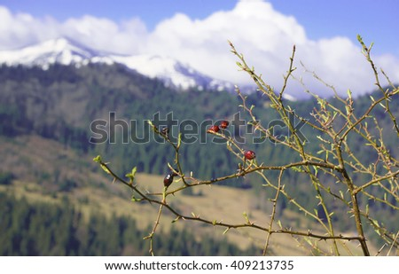 wild rose bush on a background of forested mountains