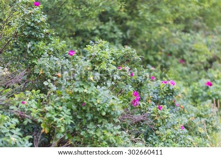 Wild rose bushes with flowers and fruits photographed in summertime forest. Close up of wild rose branches - stock photo