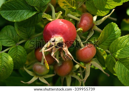 Wild rose flowers and fruits