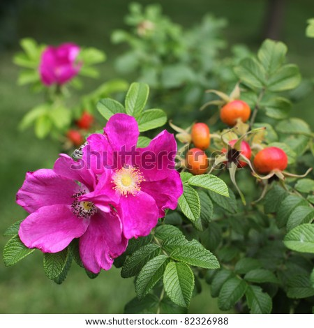 Wild rose: flowers and fruits - stock photo