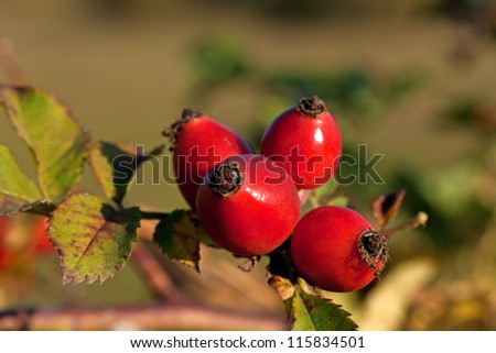Wild rose-hips on the bush