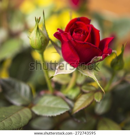 Wild rose plant with bright red flowers and green leaves on a beautiful garden close up scene. Flower of love. - stock photo