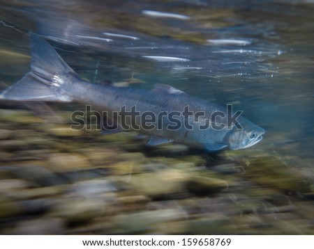 Wild salmon swimming upstream in the river to reach spawning grounds in Alaska in summer - stock photo
