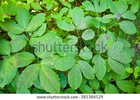 Wild Sarsaparilla, Aralia nudicaulis, also called  False sarsaparilla, Shot bush, Small Spikenard, Wild Liquorice, and Rabbit Root, green leaves in forest - stock photo