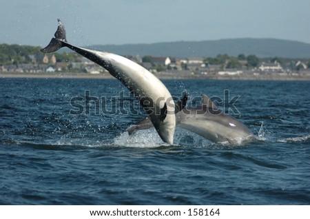 Wild Scottish Dolphins - stock photo
