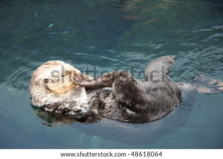 Wild sea otter (Enhydra lutris) resting, while floating on his back. - stock photo