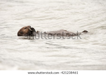 Wild sea otter floating in the ocean and eating clams