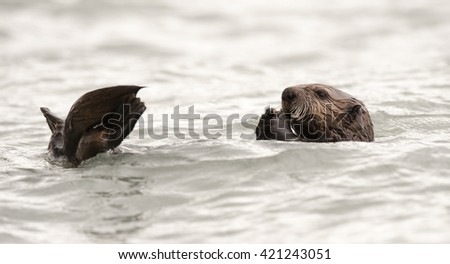 Wild sea otter floating in the ocean, eating clams - stock photo