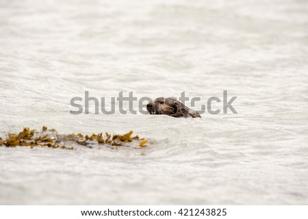 Wild sea otter floating in the ocean, eating mussels