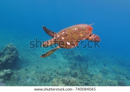Wild sea turtle swimming in the blue ocean. Underwater turtle with shell in the blue sea, swimming over the coral reef. Light azure sea water, tropical wildlife, underwater coral reef.