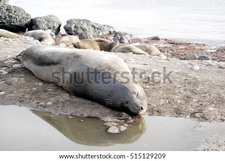 wild seal in antarctica