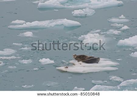 Wild seals resting on floating iceberg on sea. - stock photo