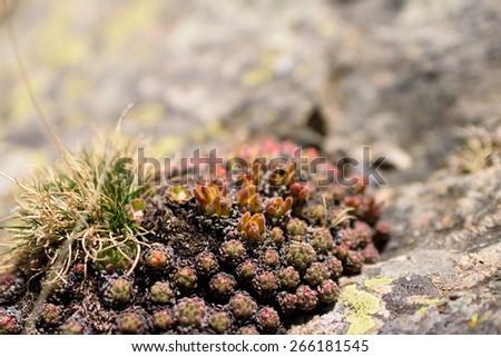 Wild sempervivum on Pyreneesâ?? mountains - stock photo