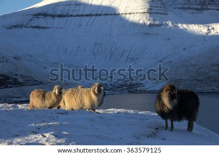 Wild sheep in the wilderness of the Faro Islands