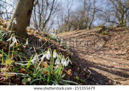 Wild snowdrops flowering near the forest path - stock photo