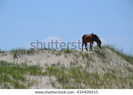 Wild Spanish Stallion descendant horse on sand dune crest at beaches edge. North Carolina outer banks.