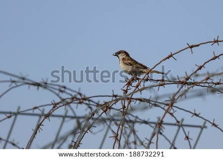 Wild sparrow with food in beak sitting on a barb wire - stock photo